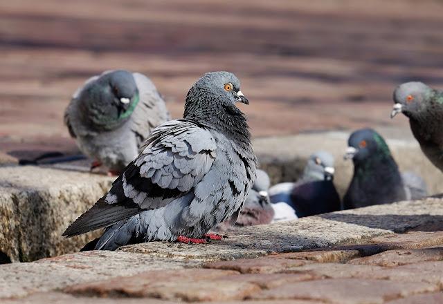 Gambar burung merpati / dara
