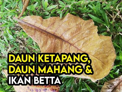 kelebihan daun ketapang kepada betta