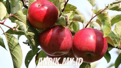 buah apel, khasiat apel, manfaat apel, gizi apel, nutrisi apel
