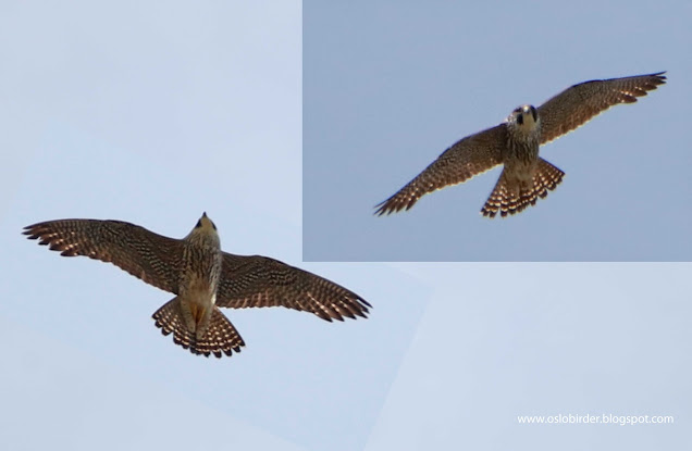 this 2cy Peregrine (vandrefalk) was unexptected yesterday