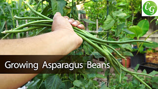 Asparagus Beans or Chinese Long Beans