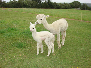 www.alpaca-stuff.co.uk