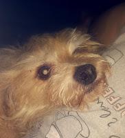 Tiffie, my terrier