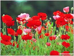 """Dịch thuật: Hai Kiều e lệ nép vào dưới hoa (146) (""""Truyện Kiều"""")"""