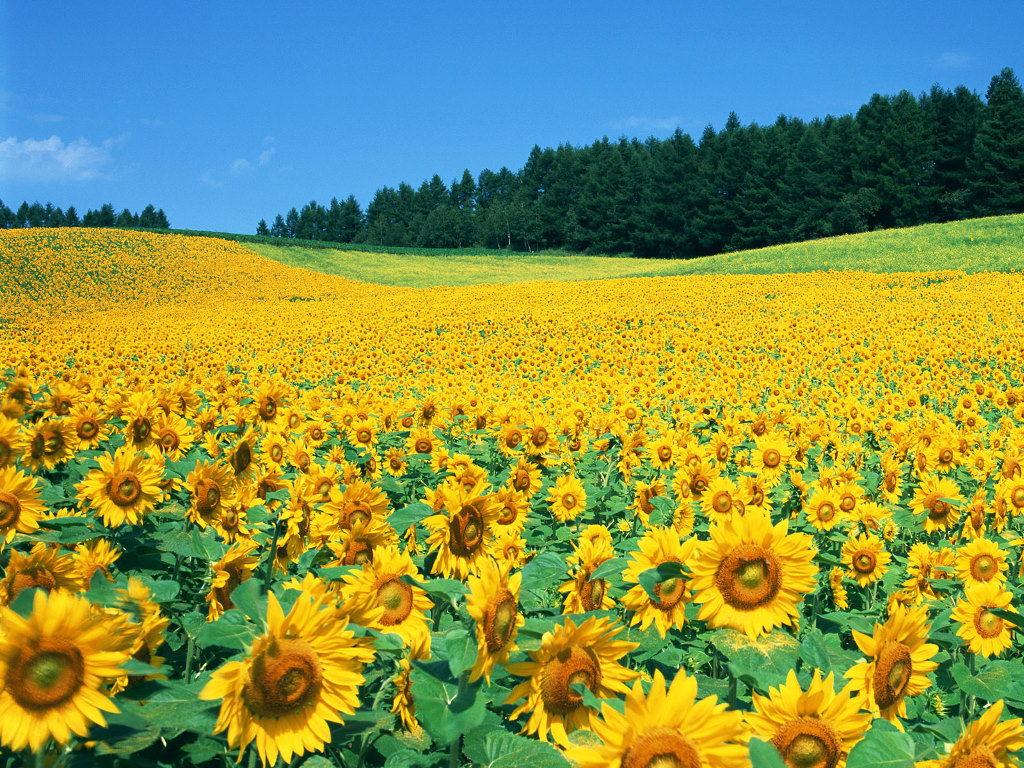 Field Of Sunflowers Wallpaper: Sweet Little Things: Beautiful Sunflower