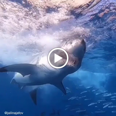 Make sure to follow @discoversharks for more amazing videos of sharks