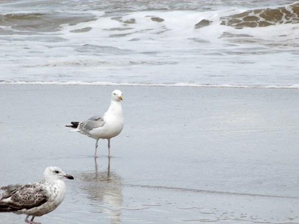 Moewen an der hollaendischen Nordseekueste