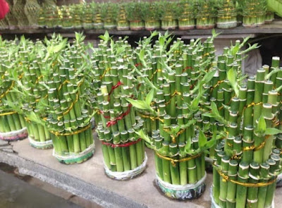 Tanaman Bambu Hoki