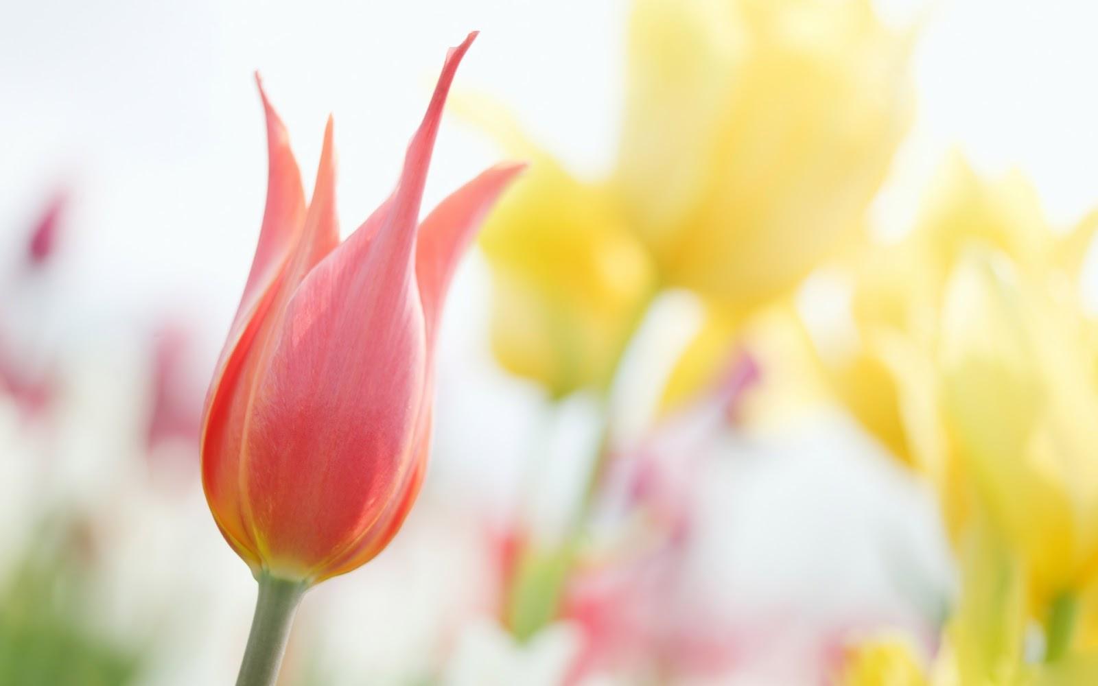 Rose Flower Wallpaper Hd Free Download Hd Wallpapers Tulip Hd Wallpapers