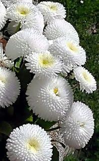 crisantemos-de-color-blanco