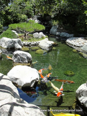 koi in Japanese Friendship Garden in Balboa Park in San Diego, California