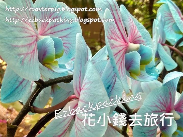 白色蝴蝶蘭