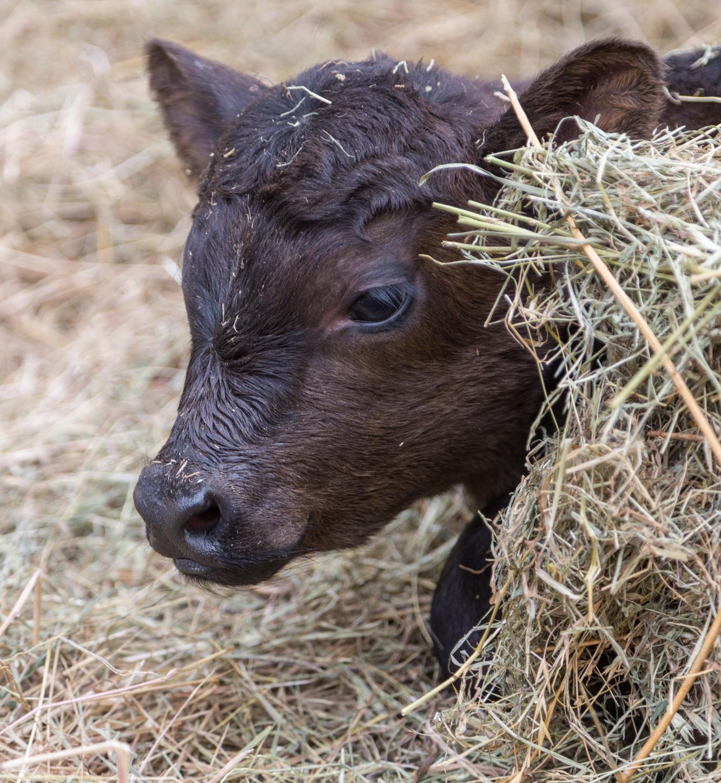 De Rossi, el ternero Angus que nació en la Expo Rural 2019