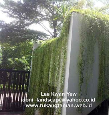 Li Kuan Yu | Jual Tanaman Rambat Menjuntai | Tanaman Lee Kwan Yew