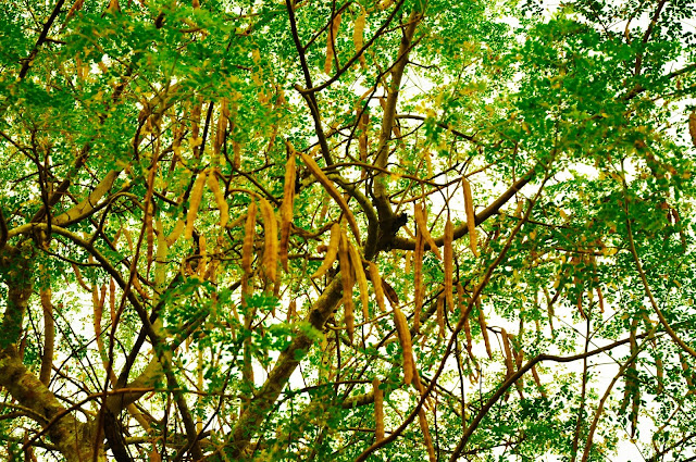 The_tree_and_seedpods_of_Moringa_oleifer