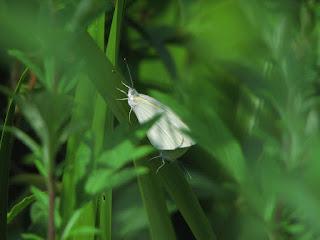 草むらに隠れたつもりで交尾中のモンシロチョウ