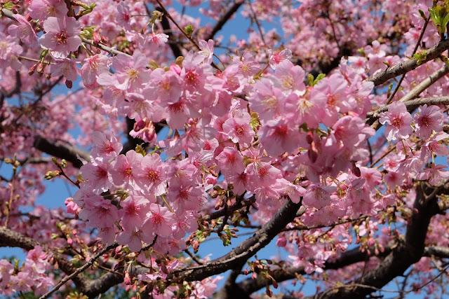 Bunga sakura pink