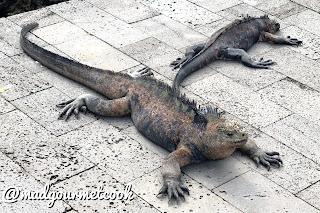 two marine iguanas