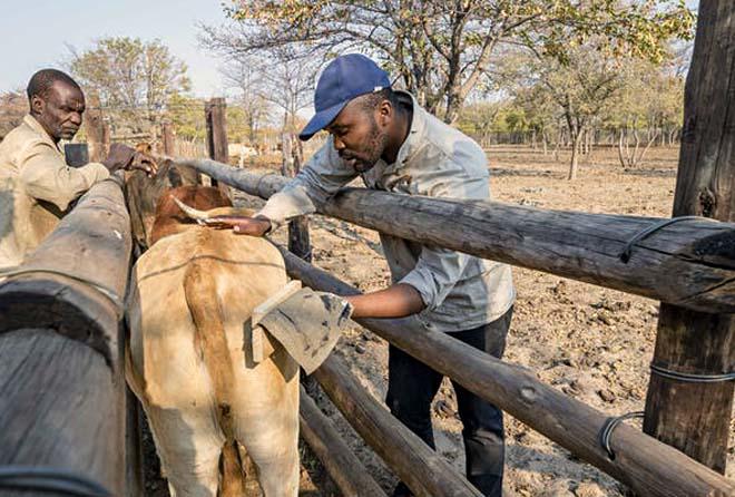 vaca es pintada por un hombre dentro de un corral