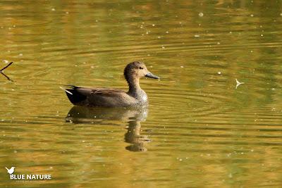 Macho de ánade friso (Anas strepera) en la laguna.