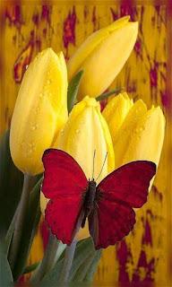 Flores tulipanes amarillo con mariposa fondos wallpaper para teléfono móvil resolución 480x800