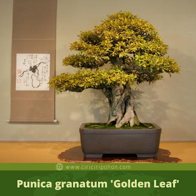 Punica granatum 'Golden Leaf'