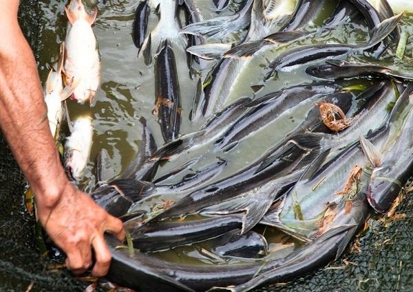 Cara Pemberian Makanan Ikan Patin Agar Sehat dan Cepat Panen