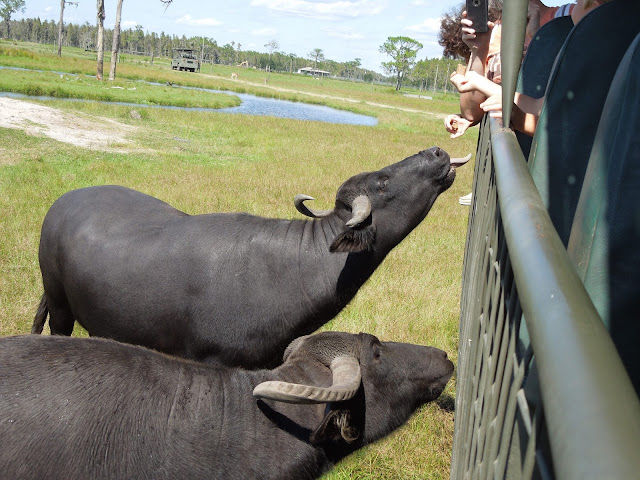 feeding the water buffalo