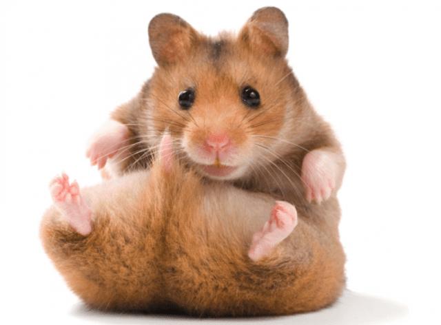 Hamster Syrian dan Harga | jenis Hamster Syrian & Cara Merawat