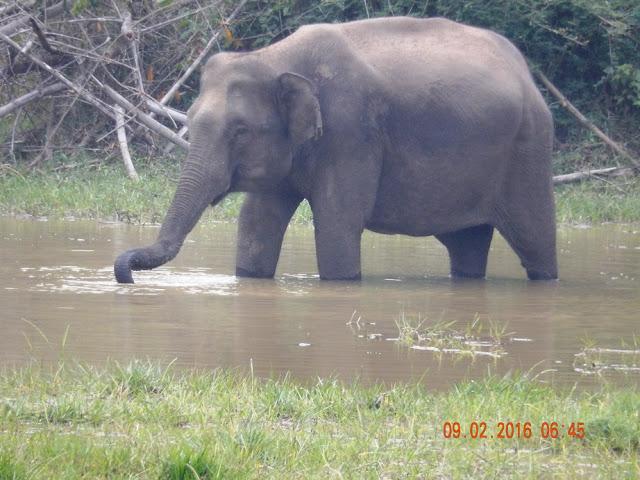 éléphant sauvage kerala