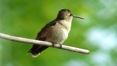 Hummingbird sits resting on a perch