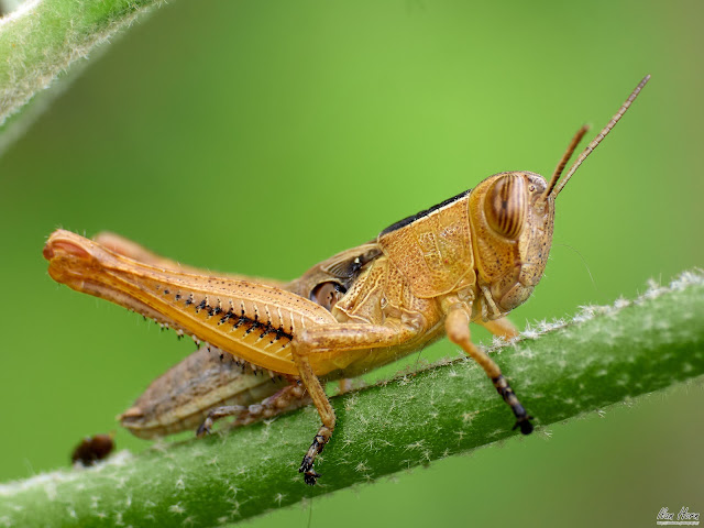 Grasshopper on Stem
