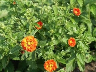Potentilla atrosanguinea 'William Rollison'
