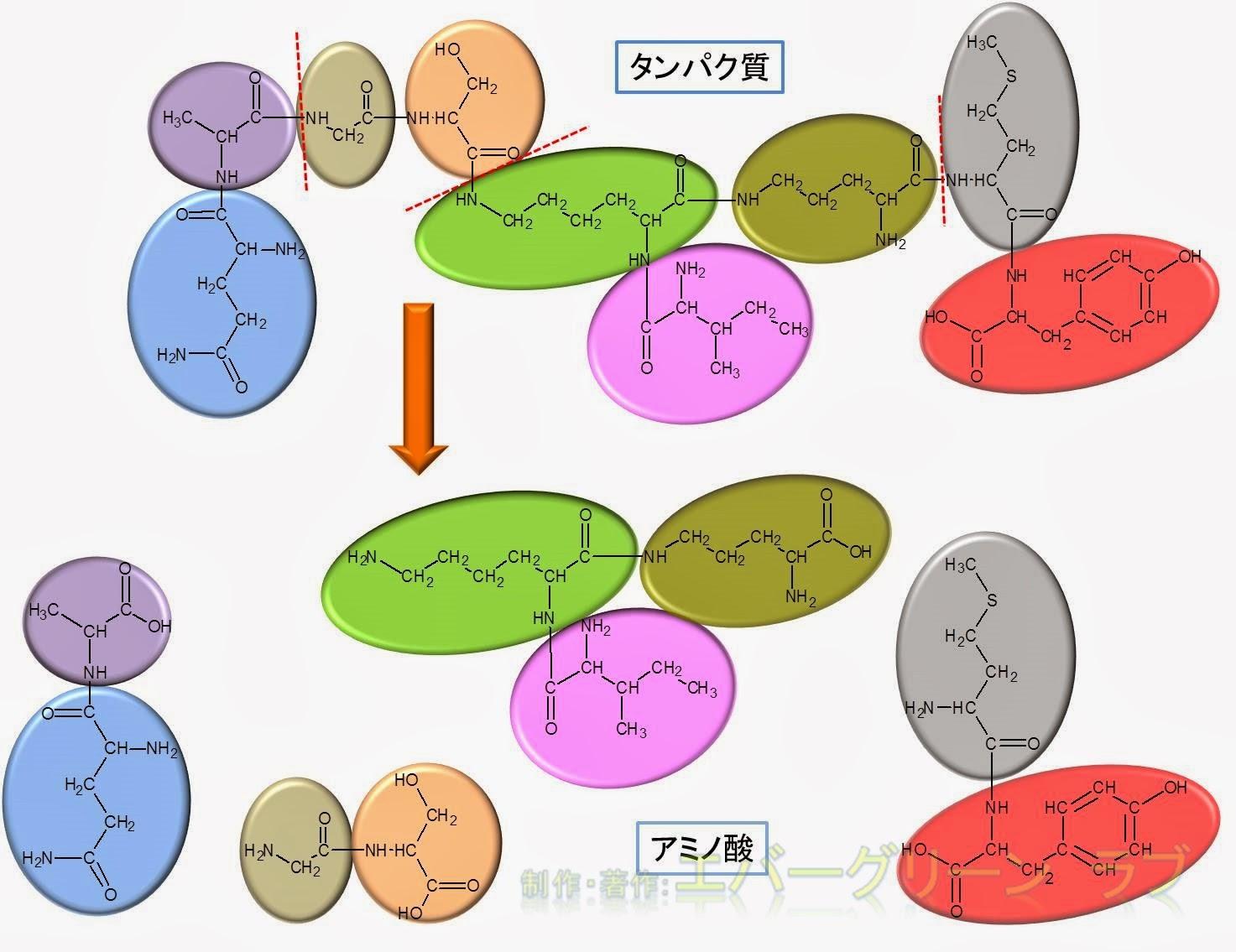 中学受験 理科 生化学 消化 吸収の仕組み 体の仕組み 食べ物 どこから吸収 吸収が早い ブドウ糖(グルコース)、アミノ酸、脂肪酸 脂肪酸、長鎖、短鎖 リンパ 中性脂肪 短い脂肪酸 リポタンパク カイロミクロン キロミクロン 静脈  動脈 消化に時間がかかる 吸収できない エネルギー 栄養素 リノレン酸 トリプシン キモトリプシン 肉 早い栄養素 膵液 化学構造 アミノ酸 すぐに吸収