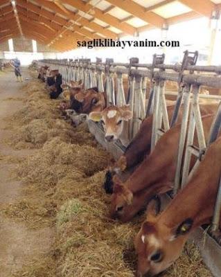 yanıkara hastalığı olan hayvanın eti yenir mi