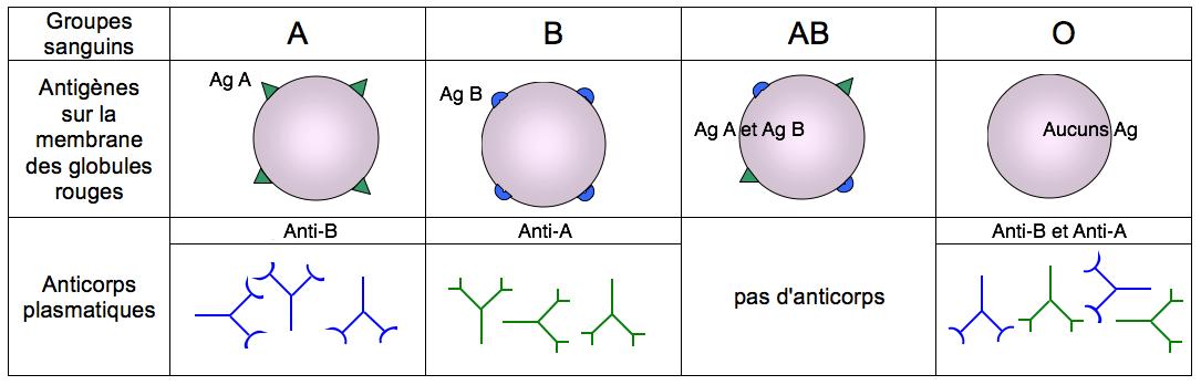 antigene anticorps groupe sanguin