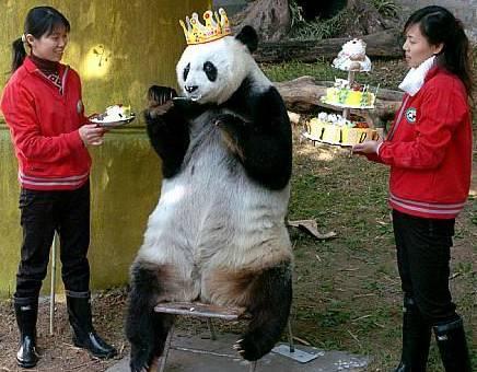 Funny panda wearing a crown pic