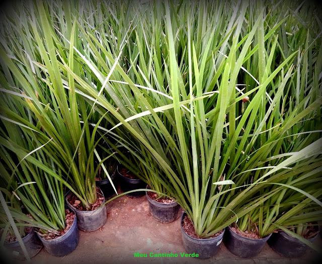 Folhas da MOREIA - ( Dietes iridioides )