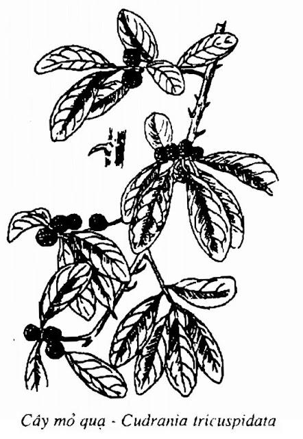 Hình vẽ Cây Mỏ Quạ - Cudrania tricuspidata - Nguyên liệu làm thuốc Đắp vết thương Rắn Rết cắn