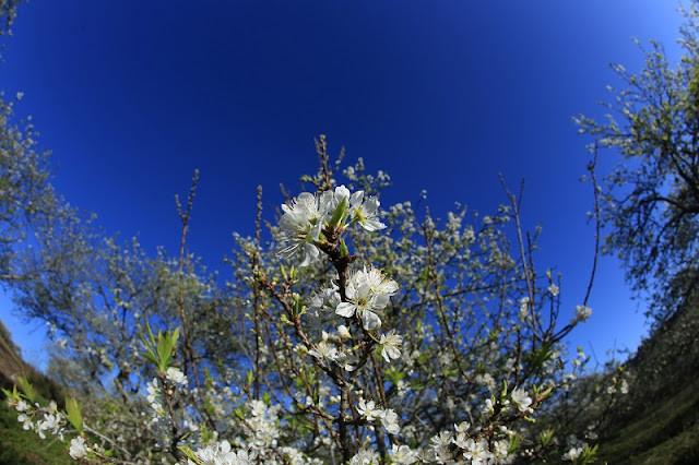 Moc Chau Plateau: Lost In Paradise With White Apricot Flower 1