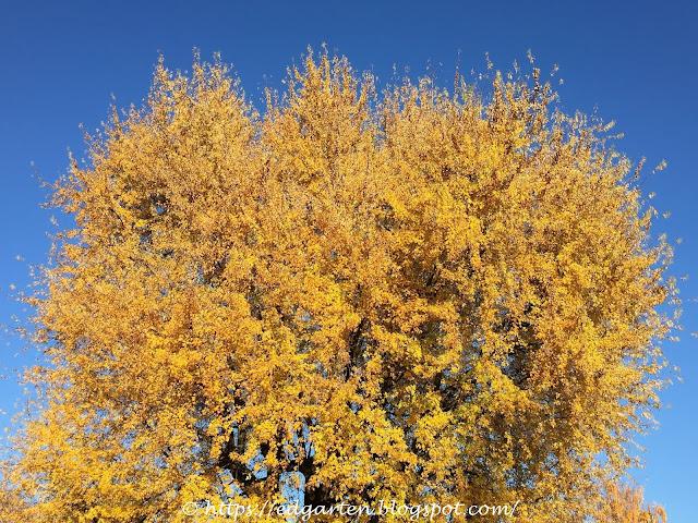 Herbstbaum in gelb