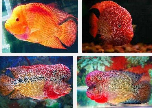 Ini Dia Makanan Terbaik Ikan Louhan biar Merah, Jenong, dan Cepat Besar