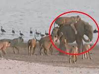 (Video) 1 Gajah Vs 14 Singa Pertarungan Brutal, Cara Gajah Ini Menang Luar Biasa..