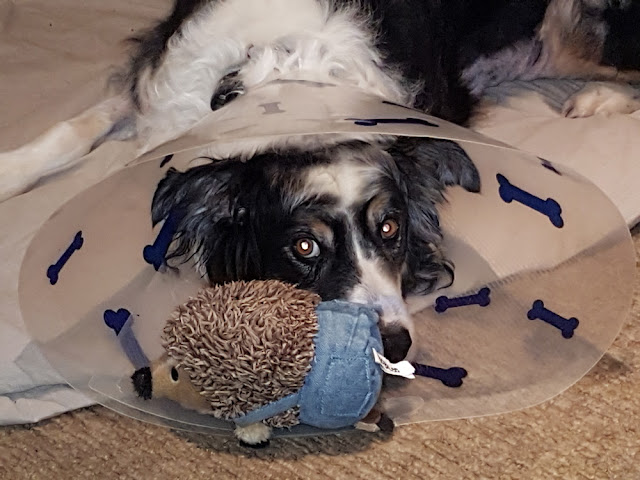 Bodger recovering from his surgery; Companion Animal Psychology news