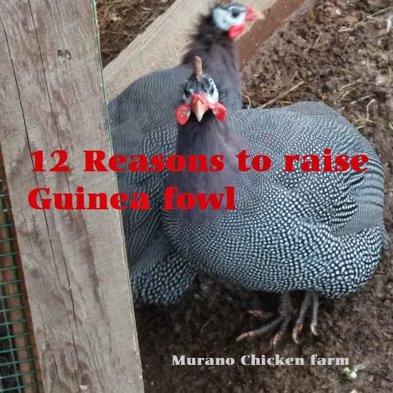 Why raise guineas