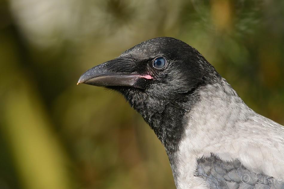 Hallvares, Corvus corone cornix, Hooded Crow, Hoodiecrow, vares