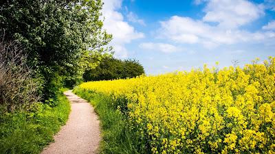 Path In Flower Field Wallpaper