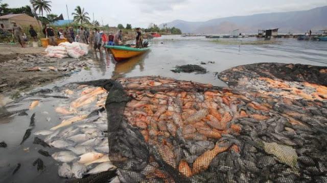 Heboh! 180 Ton Ikan di Danau Toba Mati, Ternyata Ini Penyebabnya