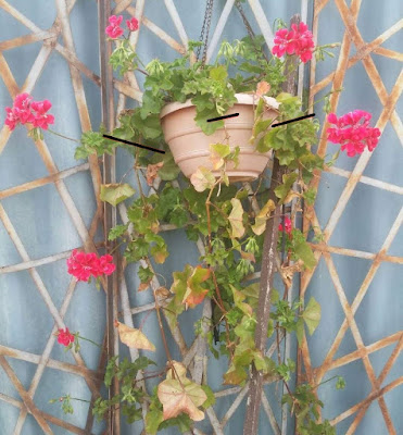 Pruning poorly cared for geranium/pelargonium