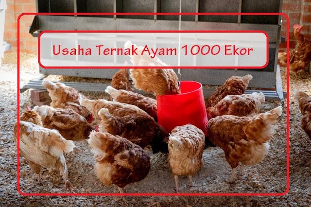usaha ayam potong 1000 ekor